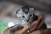 A 10 day old kitten with blue eyes, Thailand ALMBT0TE6| 写真素材・ストックフォト・画像・イラスト素材|アマナイメージズ