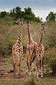 Three Wild Masai Giraffes,  Giraffa camelopardalis, Masai Mara National Reserve, Kenya, Africa ALMCNM1WJ| 写真素材・ストックフォト・画像・イラスト素材|アマナイメージズ