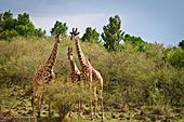 Three Wild Masai Giraffes,  Giraffa camelopardalis, Masai Mara National Reserve, Kenya, Africa ALMCF7B7W| 写真素材・ストックフォト・画像・イラスト素材|アマナイメージズ