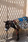 Graphic dappled shadows from the roof of the medina cast on a tired, sad, donkey, shading from the heat. Carrying sack saddle ALMBB13X7| 写真素材・ストックフォト・画像・イラスト素材|アマナイメージズ