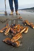 Razor clams, North Beach, Naikoon Provincial Park, British Columbia, Canada. ALMANH2WY| 写真素材・ストックフォト・画像・イラスト素材|アマナイメージズ