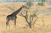 Giraffe (Giraffa camelopardalis) eating acaciatree, Kruger National Park, South Africa. ALM2B1F0YB| 写真素材・ストックフォト・画像・イラスト素材|アマナイメージズ