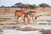 Two Namibian giraffes are elegantly crossing their necks ALM2AY6HJK| 写真素材・ストックフォト・画像・イラスト素材|アマナイメージズ