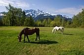 hoses in meadow ALMBAG3MD  写真素材・ストックフォト・画像・イラスト素材 アマナイメージズ