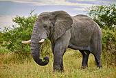 eating old male African bush elephant (Loxodonta africana), Chitabe, Okavango Delta, Botswana, Africa ALMDAY6Y2| 写真素材・ストックフォト・画像・イラスト素材|アマナイメージズ