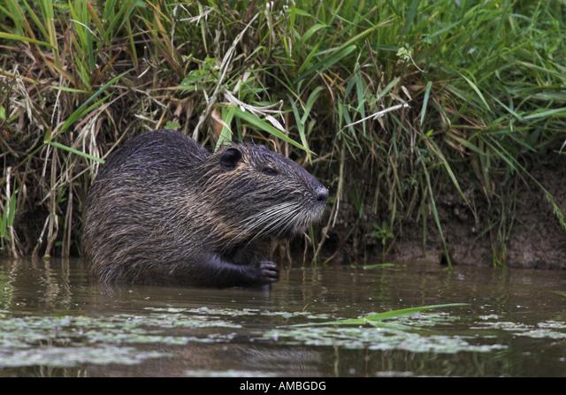 coypu, nutria (Myocastor coypus), sitting at the waterside, France, les Dombes ALMAMBGDG| 写真素材・ストックフォト・画像・イラスト素材|アマナイメージズ