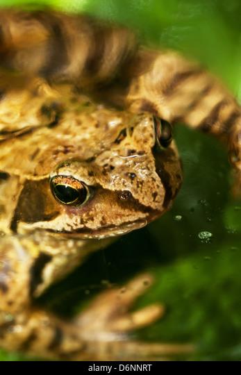 Berlin, Germany, Close up of a toad ALMD6NNRT| 写真素材・ストックフォト・画像・イラスト素材|アマナイメージズ