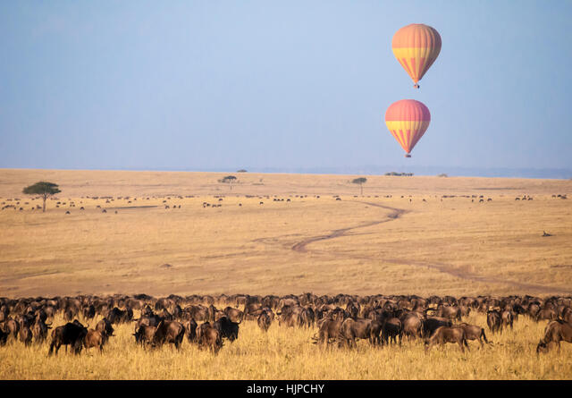 Two hot air tourist balloons over a herd of wildebeest in the Masai Mara, Kenya, East Africa ALMHJPCHY  写真素材・ストックフォト・画像・イラスト素材 アマナイメージズ