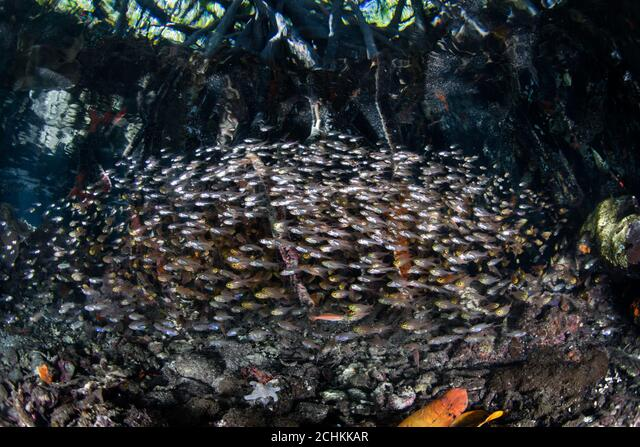 A thick school of cardinalfish hover at the edge of a mangrove forest in Raja Ampat. This tropical area is known for its high marine biodiversity. ALM2CHKKAR  写真素材・ストックフォト・画像・イラスト素材 アマナイメージズ