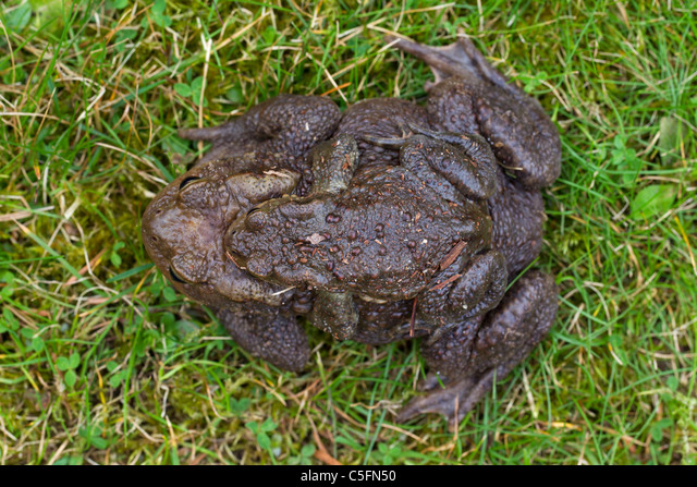 Common Toad / European Toad (Bufo bufo) pair migrating in amplexus to breeding pond in spring, Germany ALMC5FN50| 写真素材・ストックフォト・画像・イラスト素材|アマナイメージズ