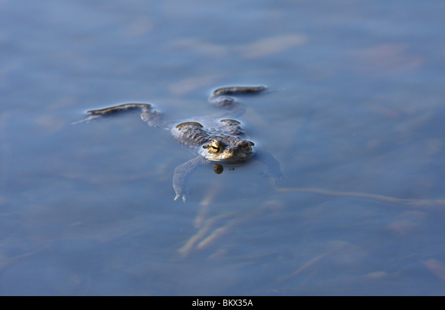 common toad ALMBKX35A| 写真素材・ストックフォト・画像・イラスト素材|アマナイメージズ