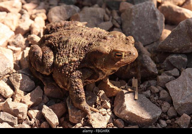 Common Toad (Bufo bufo) ALMFBGHRX| 写真素材・ストックフォト・画像・イラスト素材|アマナイメージズ