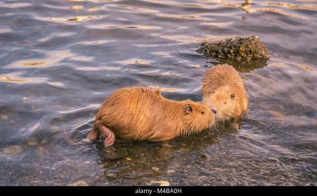 Two cute coypu kissing on water ALMM4BA0H| 写真素材・ストックフォト・画像・イラスト素材|アマナイメージズ