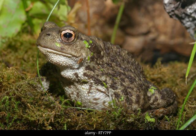 Common Toad - Bufo bufo  Closeup among Moss ALMRTY7PP| 写真素材・ストックフォト・画像・イラスト素材|アマナイメージズ