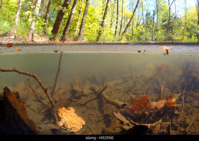 European common toad (Bufo bufo), in a pond, split-level-picture, Germany, North Rhine-Westphalia ALMH020N0| 写真素材・ストックフォト・画像・イラスト素材|アマナイメージズ