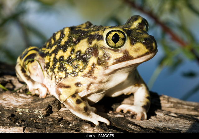 Couch's Spadefoot Toad - Los Novios Ranch - near Cotulla, Texas USA ALMBMGGE5| 写真素材・ストックフォト・画像・イラスト素材|アマナイメージズ