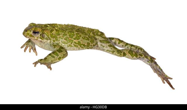 Green Toad - Bufo viridis ALMHG30DB| 写真素材・ストックフォト・画像・イラスト素材|アマナイメージズ