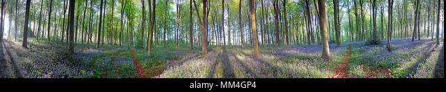Bluebells at dawn, 360º VR Cylindrical Panorama, ALMMM4GP4  写真素材・ストックフォト・画像・イラスト素材 アマナイメージズ