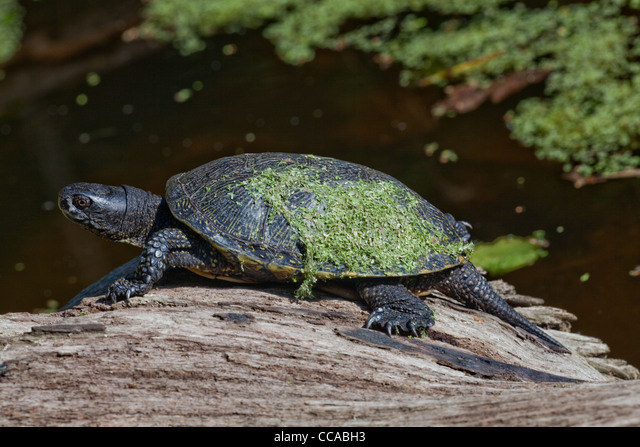 European Pond Terrapin (Emys orbicularis). With Duckweed (Lemna sp. on its shell or carapace. ALMCCABH3| 写真素材・ストックフォト・画像・イラスト素材|アマナイメージズ