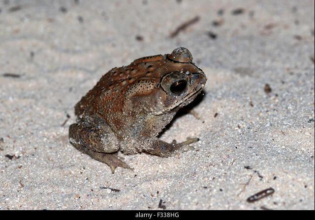 The image of common toad ( Bufo Bufo ) in Karavatti island, Lakshadweep, India ALMF338HG| 写真素材・ストックフォト・画像・イラスト素材|アマナイメージズ