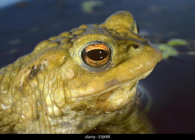 Common Toad - Bufo bufo ALME9JKRR| 写真素材・ストックフォト・画像・イラスト素材|アマナイメージズ