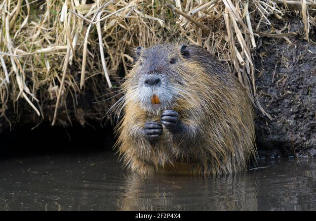 Nutria on the bank of a pond, March, Hesse, Germany ALM2F2P4X4| 写真素材・ストックフォト・画像・イラスト素材|アマナイメージズ