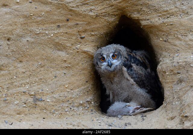 Eurasian Eagle Owl / Europaeischer Uhu ( Bubo bubo ), owlet at nesting site, feeding on prey ( nutria ), wildlife, Europe. ALM2AF2685| 写真素材・ストックフォト・画像・イラスト素材|アマナイメージズ