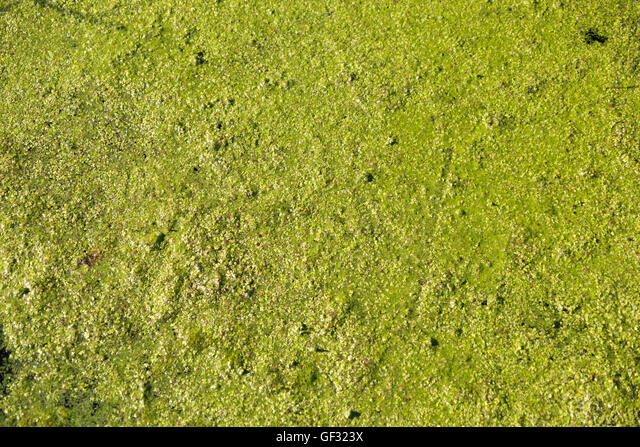 Duckweed and algae floating on the backwaters of a fresh water lake in Michigan. ALMGF323X| 写真素材・ストックフォト・画像・イラスト素材|アマナイメージズ