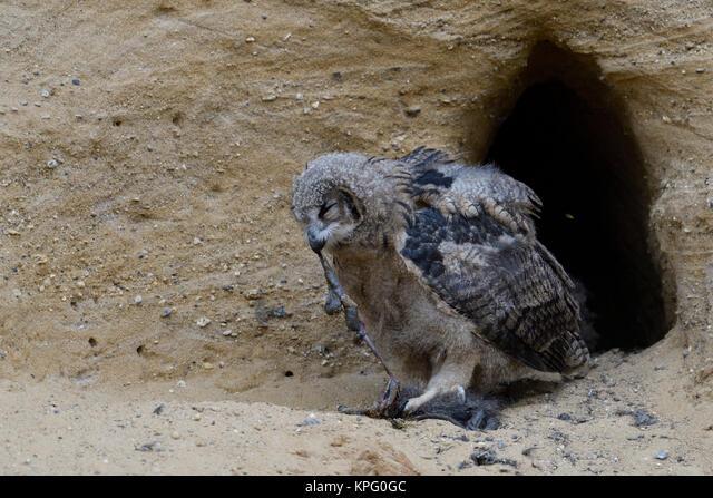 Eurasian Eagle Owl / Europaeischer Uhu ( Bubo bubo ), young chick at nesting site, feeding on prey ( nutria ), wildlife, Europe. ALMKPG0GC| 写真素材・ストックフォト・画像・イラスト素材|アマナイメージズ
