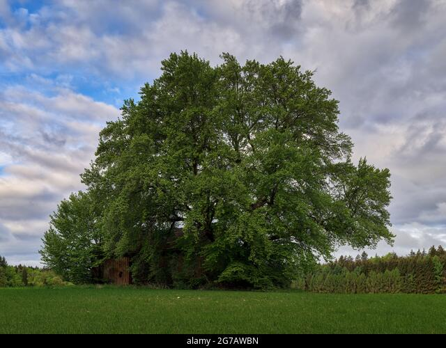 Five lakes region, cultural landscape, five lakes region, tree, morning mood, spring morning, Alpine foothills, Bavarian foothills of the Alps, agriculture, agricultural land, field, arable land, group of trees, barn, shed, clouds, forest, coniferous forest, forest ALM2G7AWBN  写真素材・ストックフォト・画像・イラスト素材 アマナイメージズ