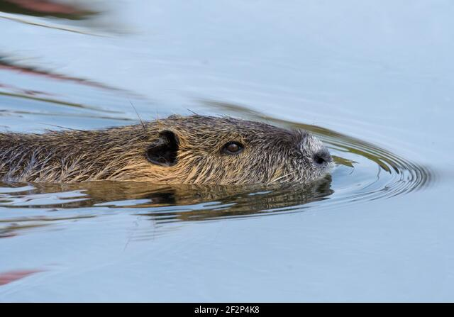 Nutria in a pond, March, Hesse, Germany ALM2F2P4K8| 写真素材・ストックフォト・画像・イラスト素材|アマナイメージズ