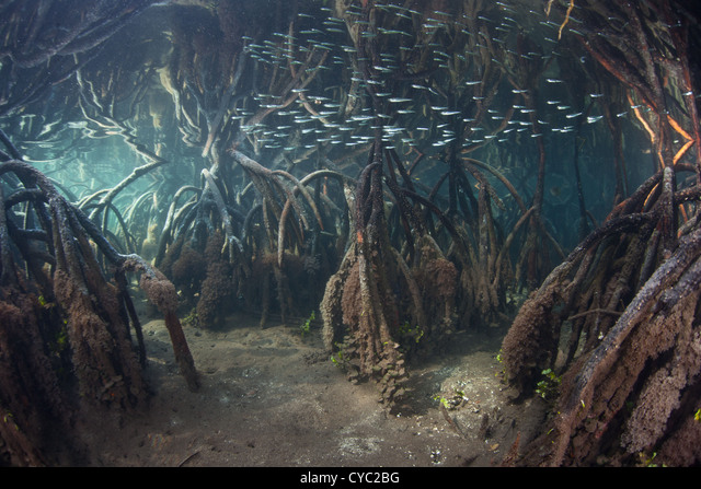 A small school of silversides flash through the prop roots of a remote mangrove forest at high tide. ALMCYC2BG  写真素材・ストックフォト・画像・イラスト素材 アマナイメージズ
