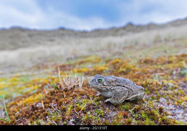 Natterjack toad (Epidalea calamita / Bufo calamita) male in the dunes along the North Sea coast in spring ALM2G1310T| 写真素材・ストックフォト・画像・イラスト素材|アマナイメージズ