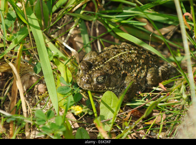 Natterjack Toad - Epidalea calamita, formerly Bufo calamita ALME6K3KF| 写真素材・ストックフォト・画像・イラスト素材|アマナイメージズ