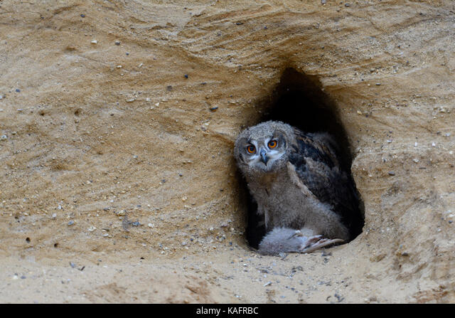 Eurasian Eagle Owl / Europaeischer Uhu ( Bubo bubo ), owlet at nesting site, feeding on prey ( nutria ), wildlife, Europe. ALMKAFRBC| 写真素材・ストックフォト・画像・イラスト素材|アマナイメージズ