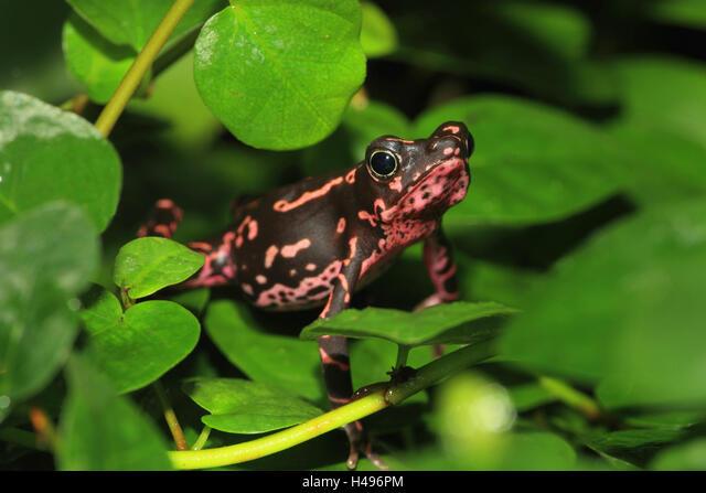 Cayenne stump foot toad, ALMH496PM| 写真素材・ストックフォト・画像・イラスト素材|アマナイメージズ
