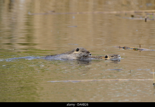 coypu, nutria (Myocastor coypus), two nutrias swimming, Germany, North Rhine-Westphalia ALMDAKB26| 写真素材・ストックフォト・画像・イラスト素材|アマナイメージズ