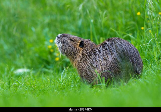 Nutria in a meadow, May, Hesse, Germany ALM2F2P4KM| 写真素材・ストックフォト・画像・イラスト素材|アマナイメージズ