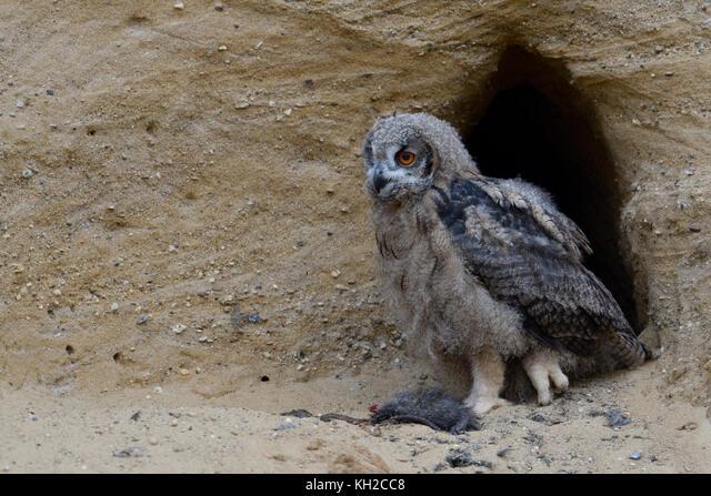 Eurasian Eagle Owl / Europaeischer Uhu ( Bubo bubo ), young chick at nesting site, feeding on prey ( nutria ), wildlife, Europe. ALMKH2CC8| 写真素材・ストックフォト・画像・イラスト素材|アマナイメージズ