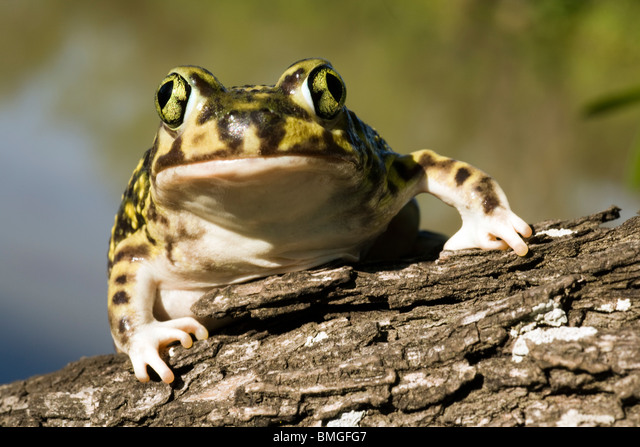 Couch's Spadefoot Toad - Los Novios Ranch - near Cotulla, Texas USA ALMBMGFG7| 写真素材・ストックフォト・画像・イラスト素材|アマナイメージズ