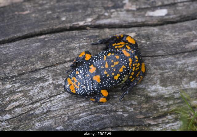 firebellied toad ALMERC3WH| 写真素材・ストックフォト・画像・イラスト素材|アマナイメージズ
