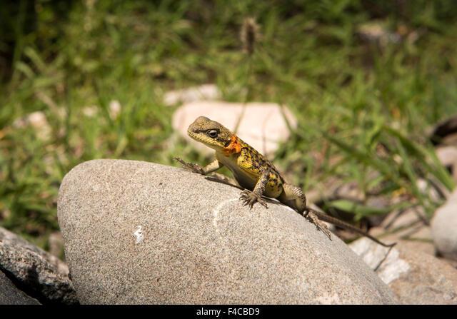 India, Jammu & Kashmir, Ladakh, Hemis, Toad Agama lizard, Phrynocephalus reticulates on rock ALMF4CBD9| 写真素材・ストックフォト・画像・イラスト素材|アマナイメージズ