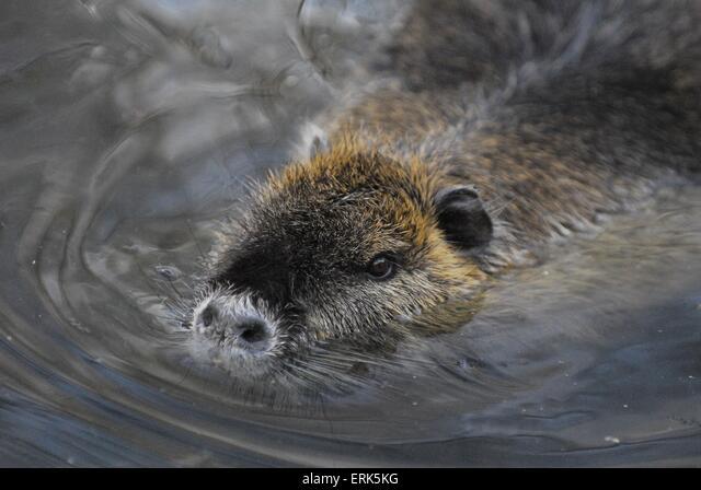 swimming nutria ALMERK5KG| 写真素材・ストックフォト・画像・イラスト素材|アマナイメージズ