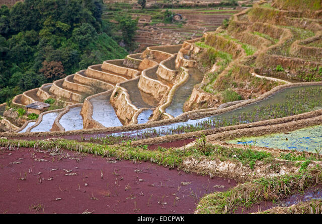 Red duckweed in terraced rice paddy on hillside near Xinjie in the Yuangyang district, Yunnan province, China ALMEDCPWK| 写真素材・ストックフォト・画像・イラスト素材|アマナイメージズ