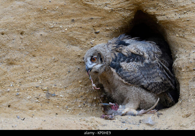 Eurasian Eagle Owl / Europaeischer Uhu ( Bubo bubo ), young chick at its nesting site, feeding on a rodent, wildlife, Europe. ALMKP0HE9| 写真素材・ストックフォト・画像・イラスト素材|アマナイメージズ