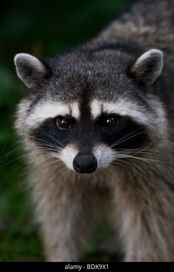 Raccoon in Stanley Park, Vancouver, British Columbia, Canada. ALMBDK9X1| 写真素材・ストックフォト・画像・イラスト素材|アマナイメージズ