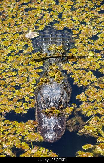 Florida, FL, South, Tamiami Trail, Everglades National Park, Shark Valley Loop Road, alligator, water, aquatic plants, duckweed, sightseeing visitors ALME8GCKD| 写真素材・ストックフォト・画像・イラスト素材|アマナイメージズ
