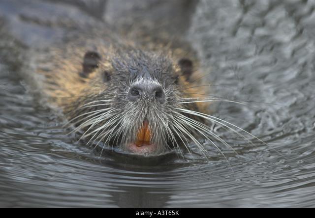 coypu, nutria (Myocastor coypus), swimming ALMA3T65K| 写真素材・ストックフォト・画像・イラスト素材|アマナイメージズ
