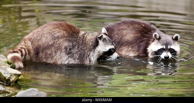 Raccoon (Procyon lotor), ZOOM Erlebniswelt, Gelsenkirchen, Ruhr Area, Germany, Europe ALMWX6MAM| 写真素材・ストックフォト・画像・イラスト素材|アマナイメージズ