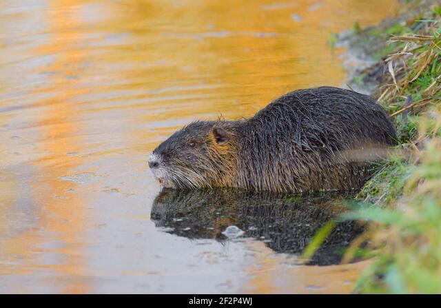 Nutria on the bank of a pond, January, Hesse, Germany ALM2F2P4WJ| 写真素材・ストックフォト・画像・イラスト素材|アマナイメージズ